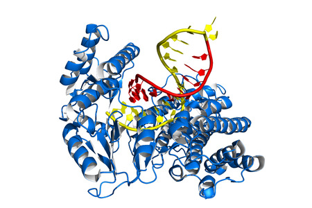 Telomerase is an enzyme that adds short DNA repeats to the ends (telomeres) of eukaryotic chromosomes, thereby preventing their shortening. Cartoon model, DNA in yellow, RNA elongation template in red. 版權商用圖片