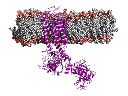Calcium pump embedded in a membrane. Ca pump controls the release of calcium ions from sarcoplasmatic reticulum during muscle contraction and relaxation.
