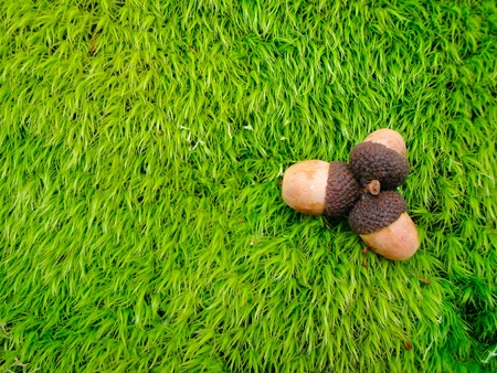 all seasons: Three acorns on a green moss background