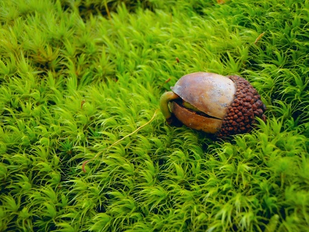 acorn nuts: A sprouting acorn on a green moss background