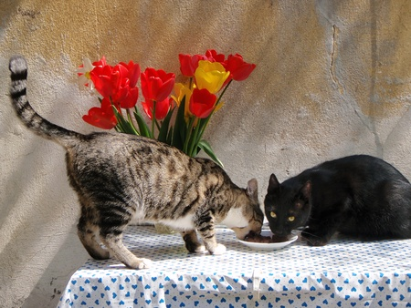 Two cats eating from a plate on a table Stock Photo - 10668534