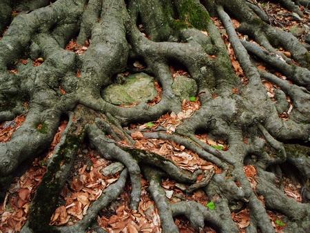Sterke wortels van een oude beuk het omarmen van de aarde