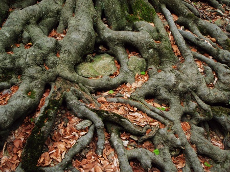 Strong roots of an old beech tree embracing the earth     photo