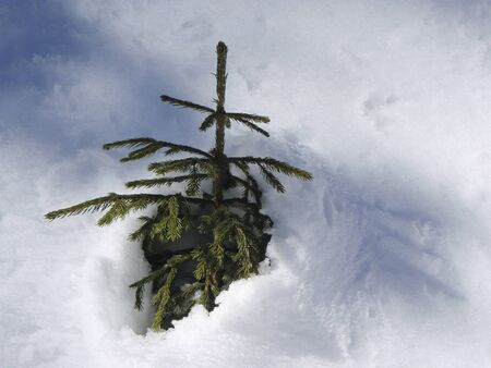 burried: Young fir tree half burried in snow Stock Photo