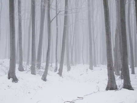 deciduous woodland: Fog and snow in a winter young beech forest Stock Photo