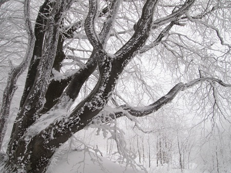 beech wood: Branchy beech tree decorated with snow Stock Photo