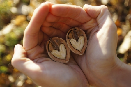 Two hands gently embracing a heart shaped walnut Stock Photo