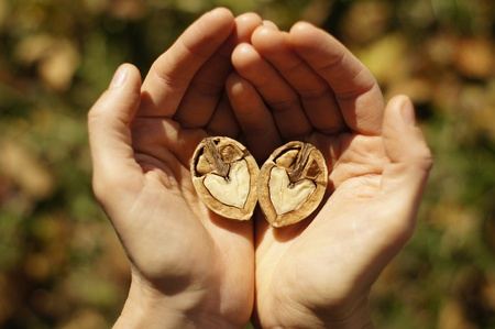upturned: Two hands gently embracing a heart shaped walnut Stock Photo
