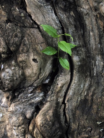plant life: A new  green growth coming out of a dead tree trunk Stock Photo