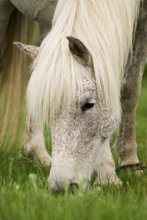 White horse with brown speckles grazing green grass Stock Photo - 11312017