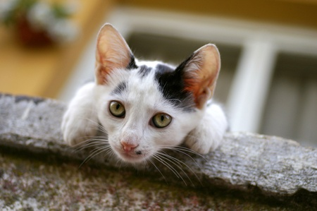 peaking: Curious black and white kitten peaking out of the balcony Stock Photo