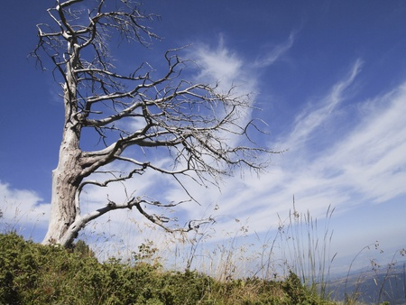 dead wood: Dead old tree spreading its branches towards the sky