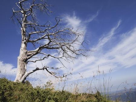 arboles secos: Viejo �rbol muerto que extiende sus ramas hacia el cielo
