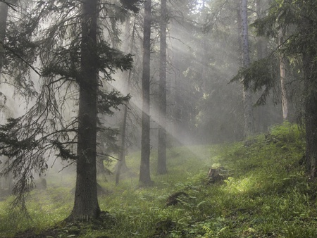 beautiful woodland: Rays of sun light in a misty forest