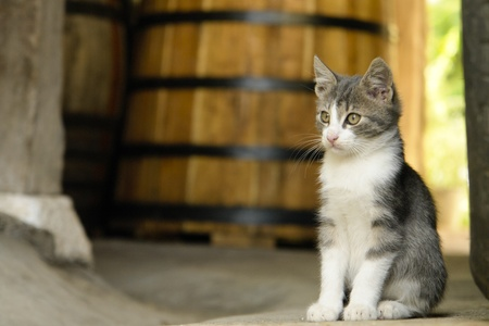 White and grey kitten sitting next to wine barrel Stock Photo - 11784541