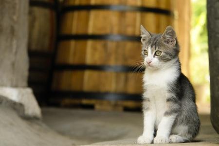 White and grey kitten sitting next to wine barrel Stock Photo - 11784541