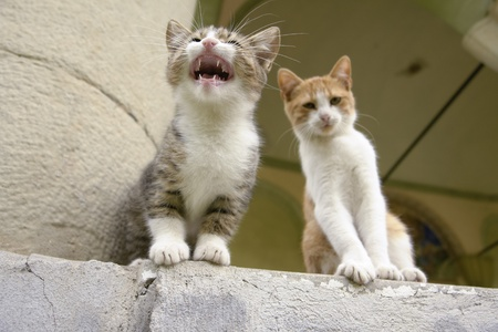 Two kittens sitting on a step with one kitten miaowing photo