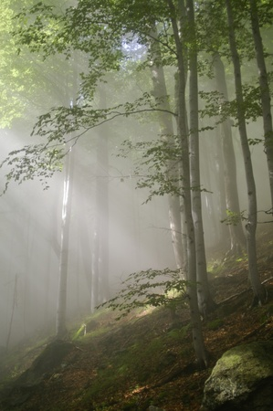 Rays of sun light in a misty forest Stock Photo - 11784533