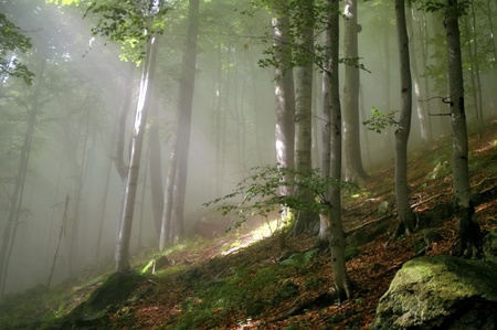 enchanted: Rays of sun light in a misty forest