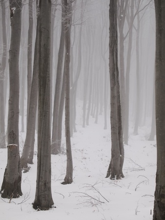 bleak: Tall thin winter trees in snowy forest