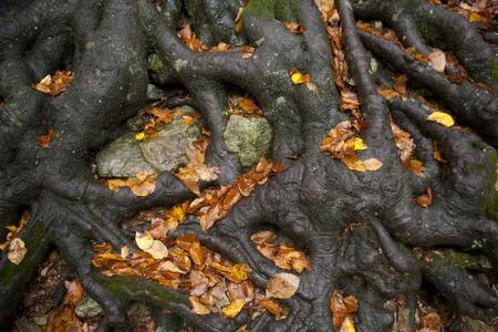 centenarian: Gruesas ra�ces de un �rbol de madera de haya de edad la celebraci�n de la tierra Foto de archivo
