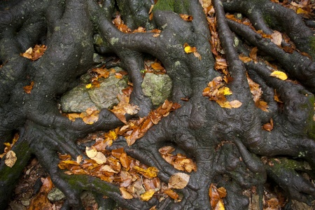 centenarian: Thick roots of an old beech tree holding the earth