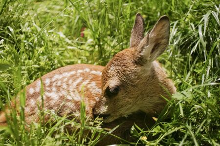 Infant deer laying in the long green grass photo