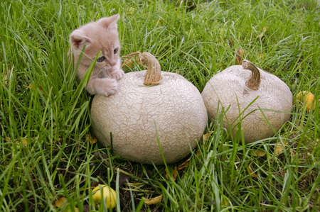 Kitten playing with two pumpkins in the green grass photo