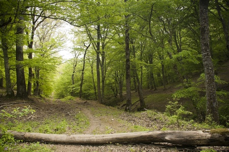 deciduous woodland: Fallen wooden trunk blocking the dirt road in a lush green spring forest