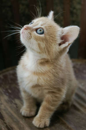 curiously: Small ginger kitten with clear blue eyes looking curiously up