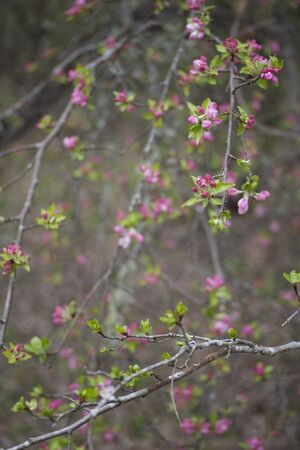 Wild apple tree in blossom in spring photo