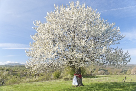 Beautiful young woman with white dress and a red scarf hugging a cherry tree in  bloom in springtime photo