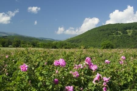 Die famouse Rosenfelder in der Tracian Tal nahe Kazanlak Bulgarien