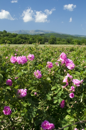 The famouse rose fields in the Tracian Valley near Kazanlak Bulgaria photo