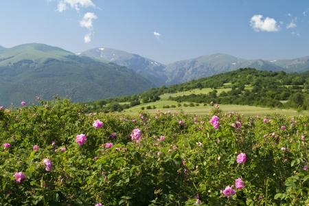 Le famouse champs de roses dans la vallée thrace près de Kazanlak en Bulgarie Banque d'images - 14166200