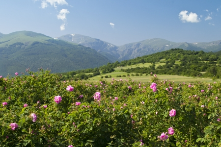 spring rose: The famouse rose fields in the Tracian Valley near Kazanlak Bulgaria