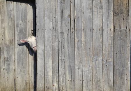 Curioso cabra mirando a través de la puerta de un cobertizo de madera