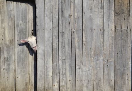 Curious goat peeking through the door of a wooden shed Stock Photo