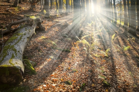 Celestial beams of light shining through the trees in an old natural forest Stock Photo - 16187905