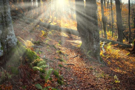 Celestial beams of light shining through the trees in an old natural forest Stock Photo - 16187904