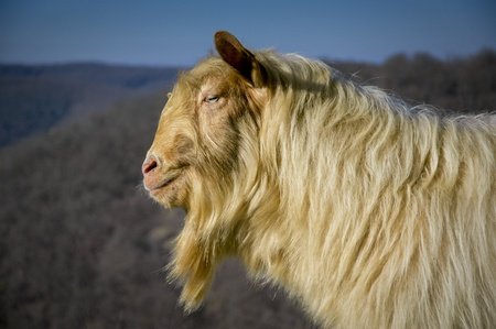 billy: Portrait of a strong male goat with long hair Stock Photo