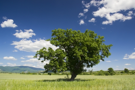 Old green tree in the middle of a field of grains in spring photo
