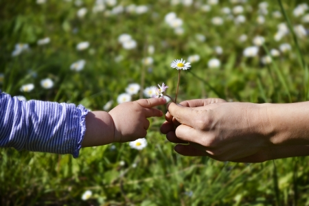 Female hands giving daisies to a small childs hand reaching for it Stock Photo