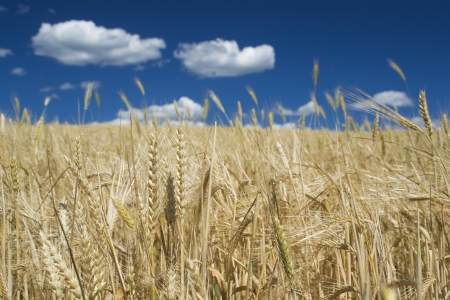Closeup of ripe wheat-ear under blue sky with white clouds on a clear sunny summer day photo