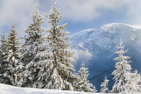 Beautifully covered with snow pine trees on a crystal clear winter day with blue sky in the mountains photo