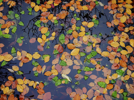 Colorful autumn leaves floating on the surface of a pond photo