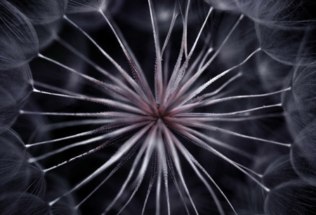The inner structure of the dandelion head creates interesting abstract pattern photo
