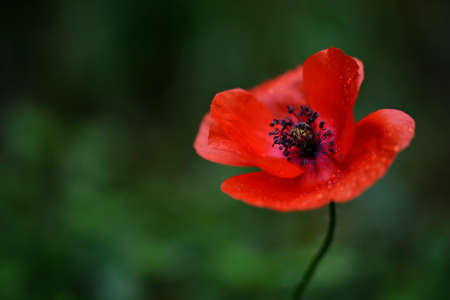 purifying: Beautiful wild poppy covered with drops of pure water after a refreshing, purifying spring shower Stock Photo