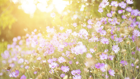 Wild flowers in a forest meadow with glow of the setting sun in the background. Stock Photo