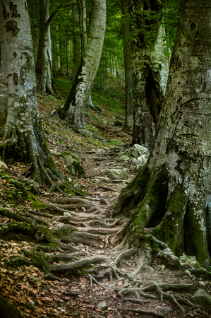 mystical forest: Trail going over a network of the roots ancient beech trees in a natural forest.
